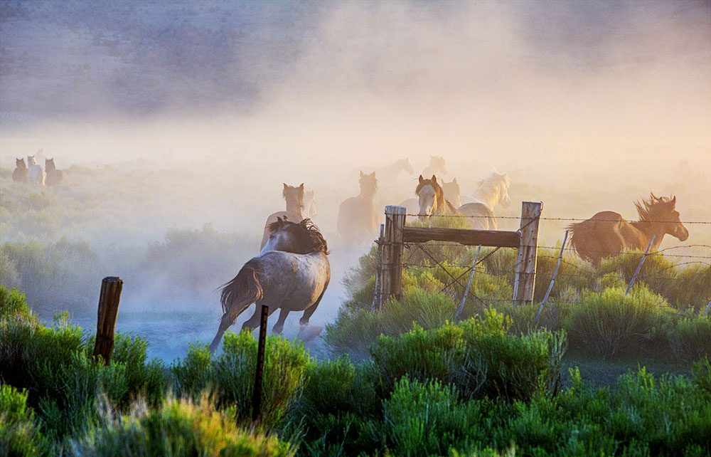 Wild Horses Stampeed at Sunrise