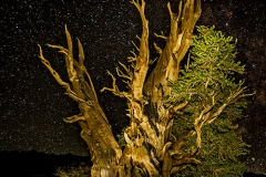Starry Night Bristlecone