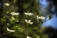 Roadside Dogwood